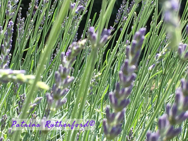5 Spiritual Uses of the Lavender Plant. The versatility of Lavender is present in its spiritual uses just as it is in the numerous physical uses. Its effects are powerfully gentle.